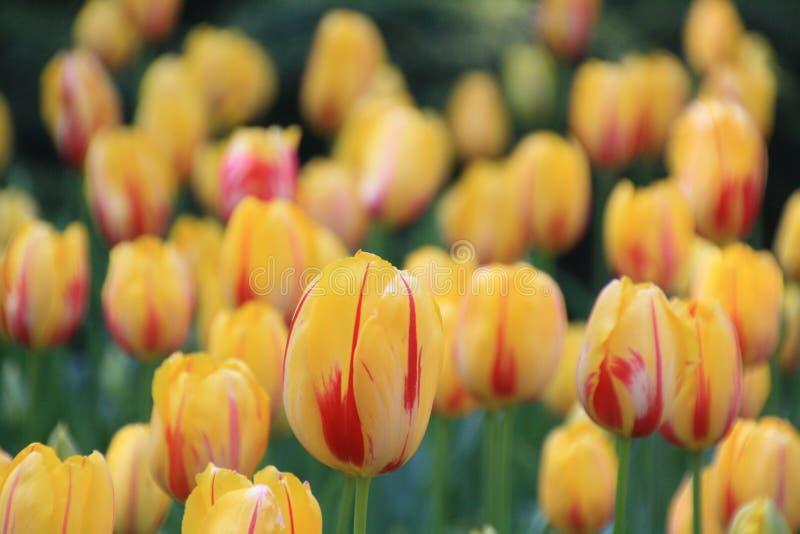 Tulip Festival photo stock