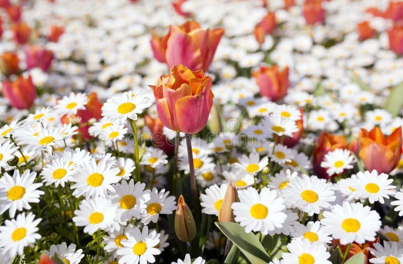 Tulip Festival royaltyfri bild