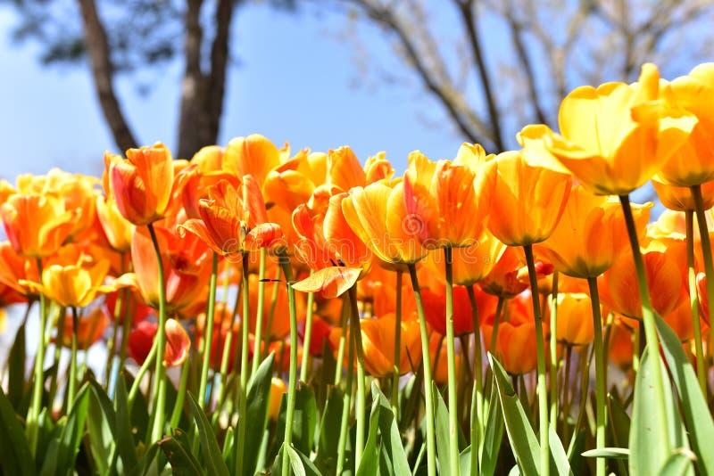 Tulip Festival arkivfoton