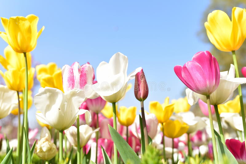 Tulip Festival arkivbilder
