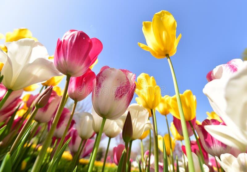 Tulip Festival royaltyfria bilder