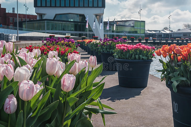 Tulip Festival in Amsterdam. Amsterdam, Netherlands, April 10, 2016: planters filled with tulips during the Tulip Festival in Amsterdam with on the background royalty free stock photography