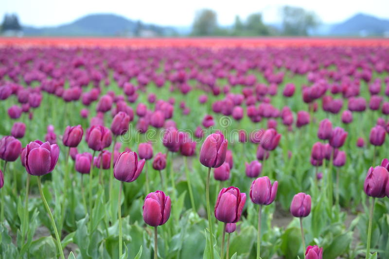 Tulip Festival dans le Mt Vernon, Washington image stock