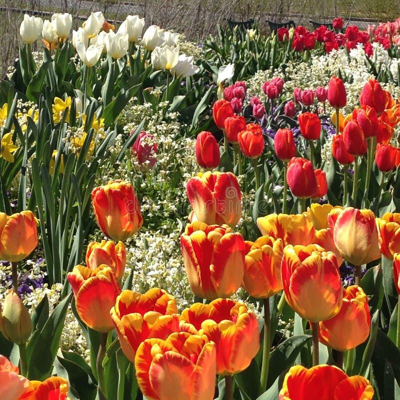 Tulip Festival no ponto da ação de graças, Utá fotos de stock royalty free