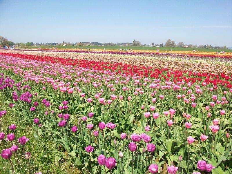 Tulip Festival, Oregon foto de archivo