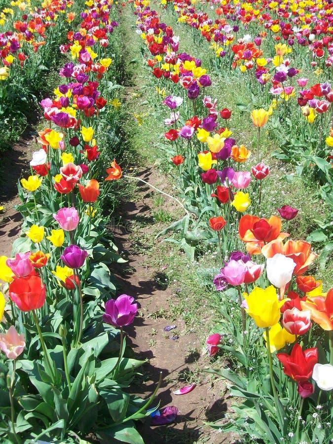 Tulip Festival, Oregon fotos de stock royalty free