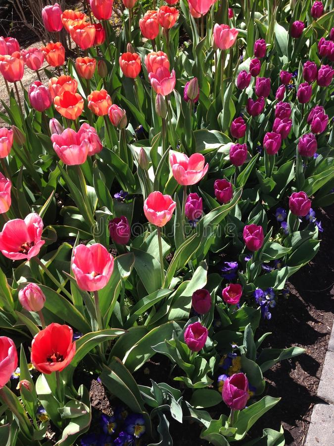 Tulip Festival på tacksägelsepunkt, Utah fotografering för bildbyråer