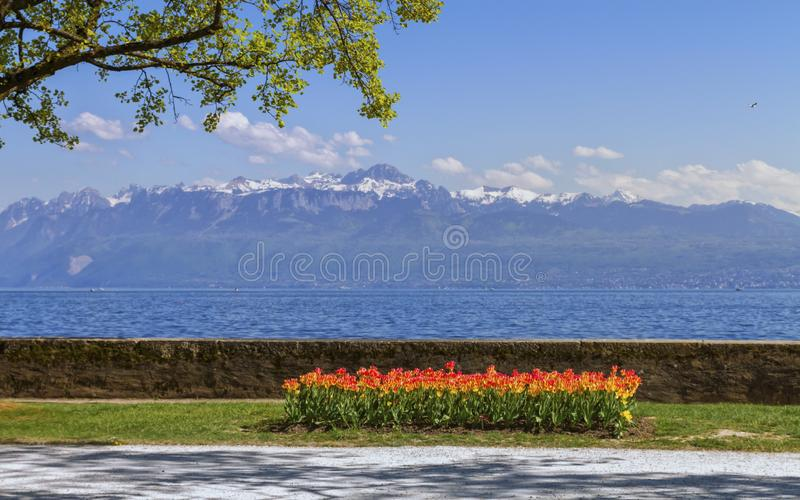 Tulip festival in spring by day, Morges, Switzerland. View on Geneva Leman lake and Alps mountains during tulip festival in spring, Morges, Switzerland stock images