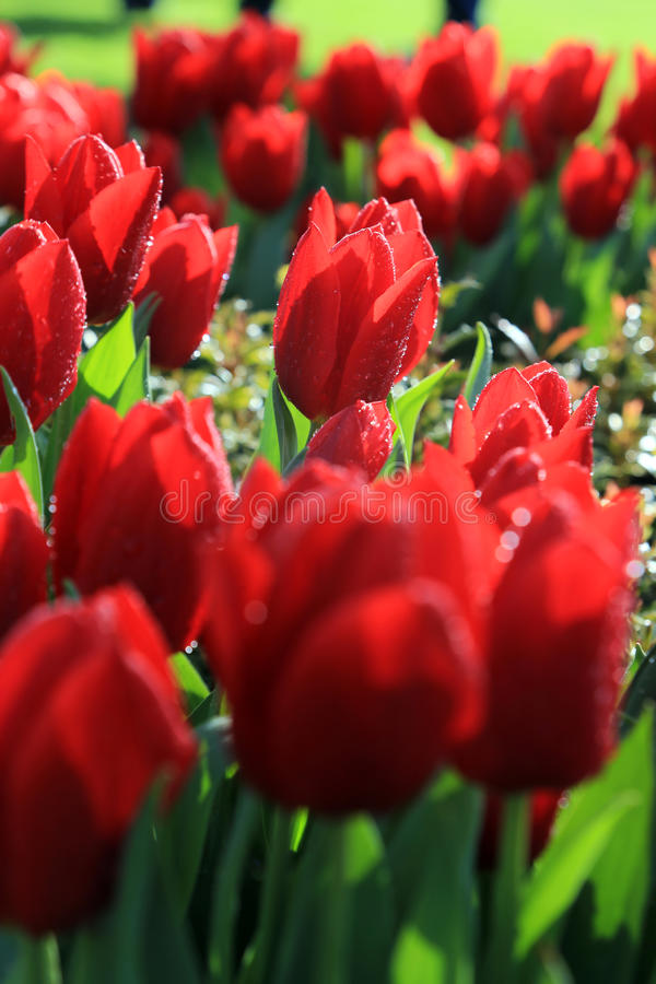 Tulip Festival stock photography