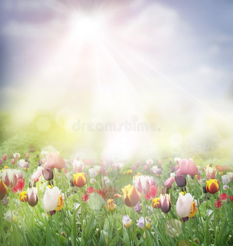 Free Tulip Field Stock Image - 23315131