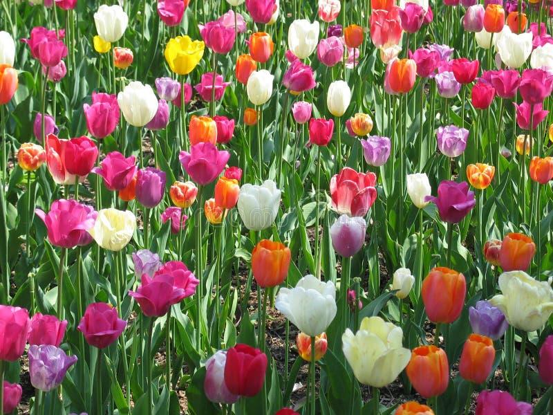 Tulip Field stock photography