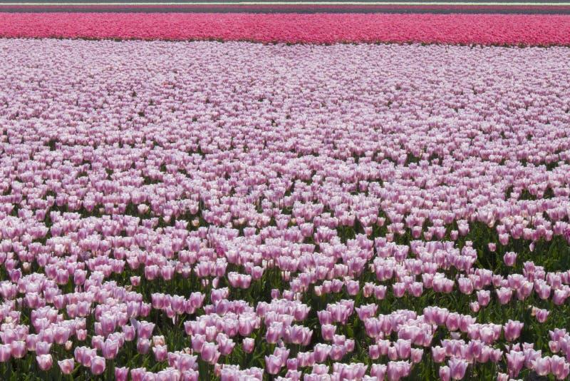 Tulip Field photo libre de droits