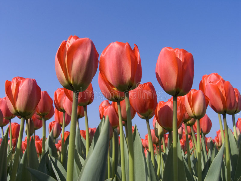 Download Tulip field 5 stock image. Image of gardening, valentine - 114007