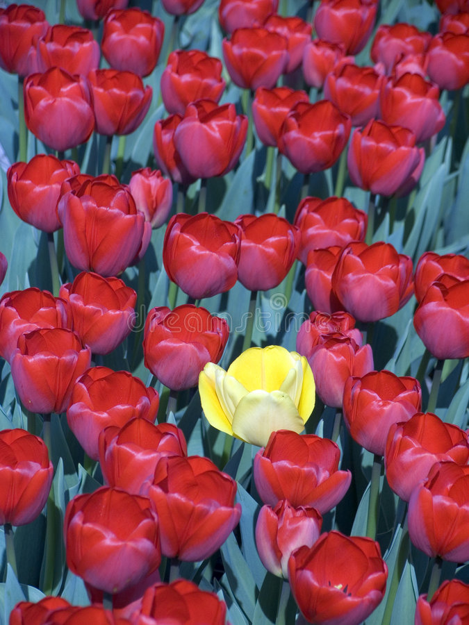 Download Tulip field 8 stock image. Image of loner, flora, colorful - 113995