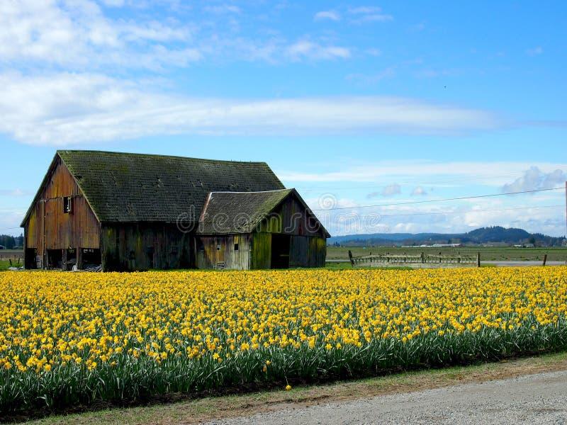 Tulip Field photos stock