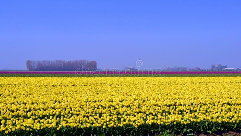 Tulip Field imagens de stock royalty free
