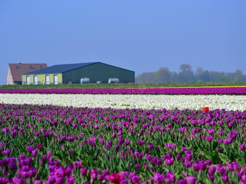 Tulip Field foto de stock royalty free