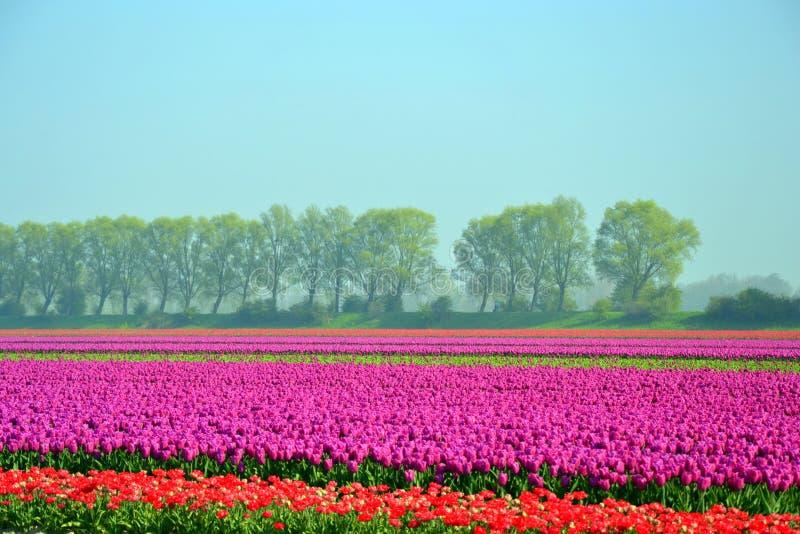 Tulip Field fotos de stock
