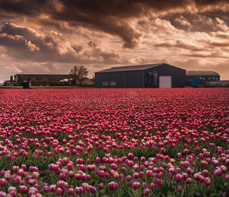 Tulip Field photographie stock