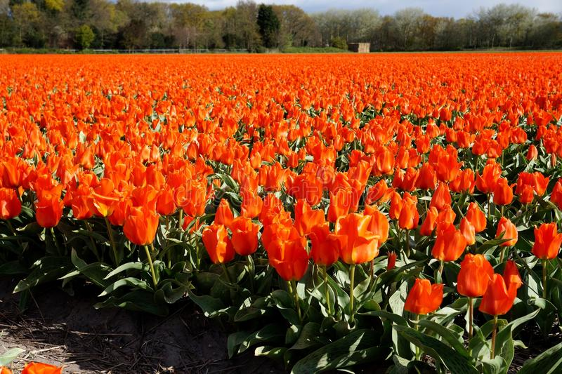 Tulip field. Blossoming in Netherlands stock photos