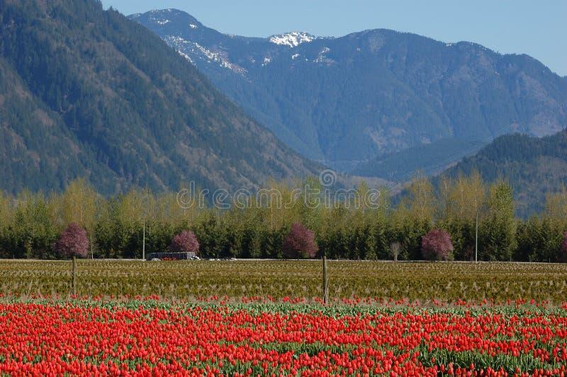 Tulip field in british columbia stock image