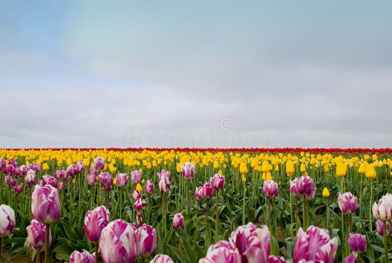 Tulip Field of Dreams stock photo