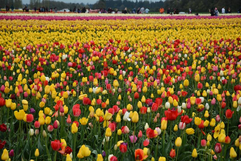 Tulip field on a farm in Woodburn, Oregon. This is a field of multi-colored tulips on the Wooden Shoe Tulip Farm near Woodburn, Oregon royalty free stock image