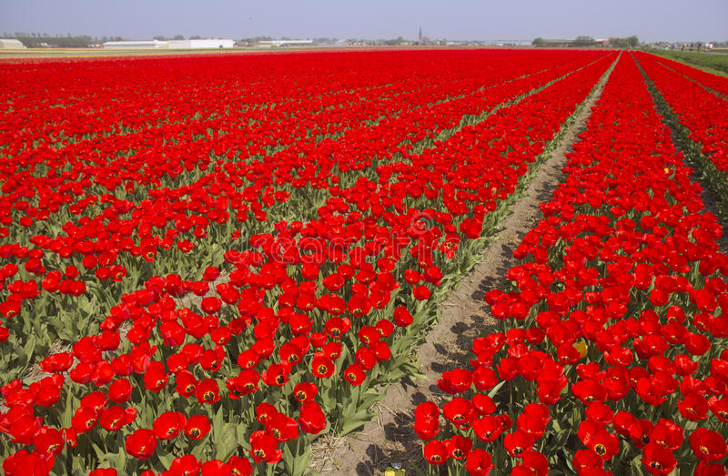 Download Tulip field in Holland stock photo. Image of holland - 19900546