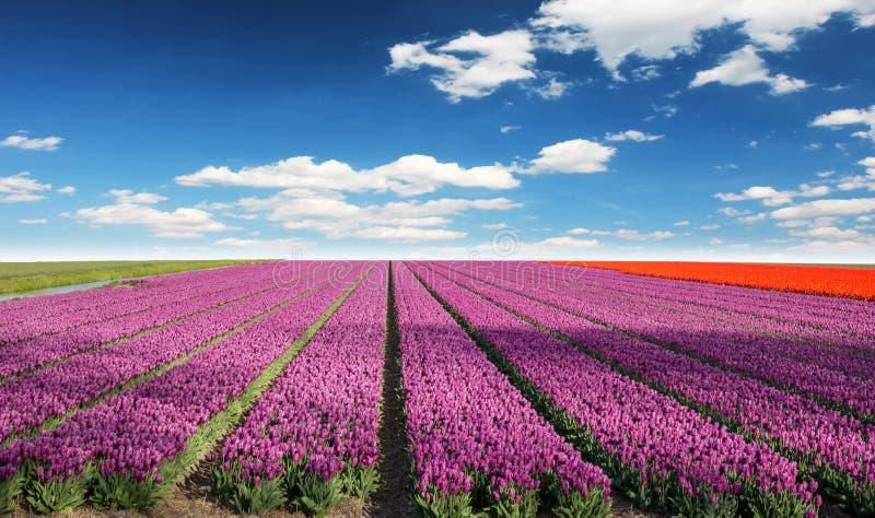 Tulip field in Holland. stock photo