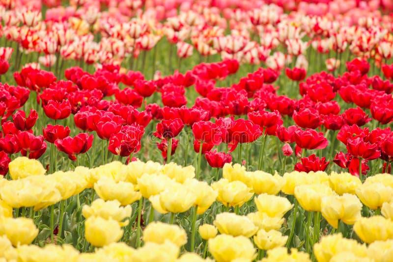 Tulip field in kashmir, india stock photo