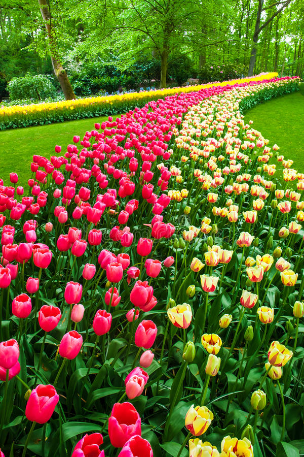 Tulip field in Keukenhof Gardens, Lisse, Netherlands. The tulip field in Keukenhof flower garden, Lisse, Netherlands, Holland royalty free stock image