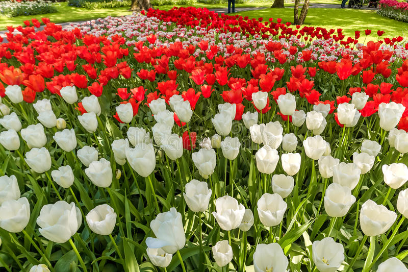 Tulip field in Keukenhof Gardens, Lisse, Netherlands. The tulip field in Keukenhof flower garden, Lisse, Netherlands, Holland stock photography