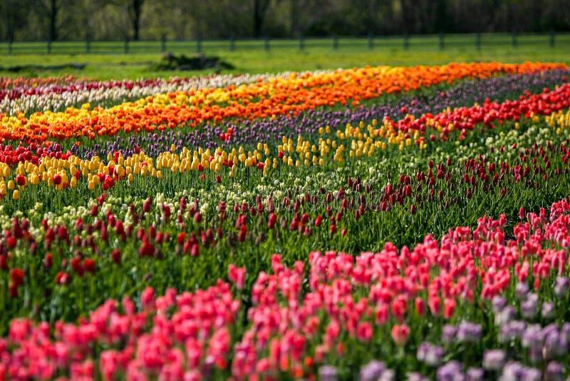 Tulip Field na Holanda da ilha do moinho de vento, Michigan imagens de stock