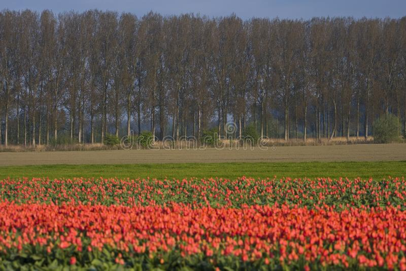 Tulip field in Netherlands. Tulip field in the Netherlands royalty free stock image