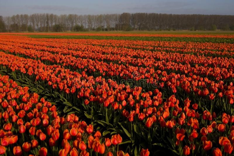 Tulip field in Netherlands. Tulip field in the Netherlands royalty free stock photos
