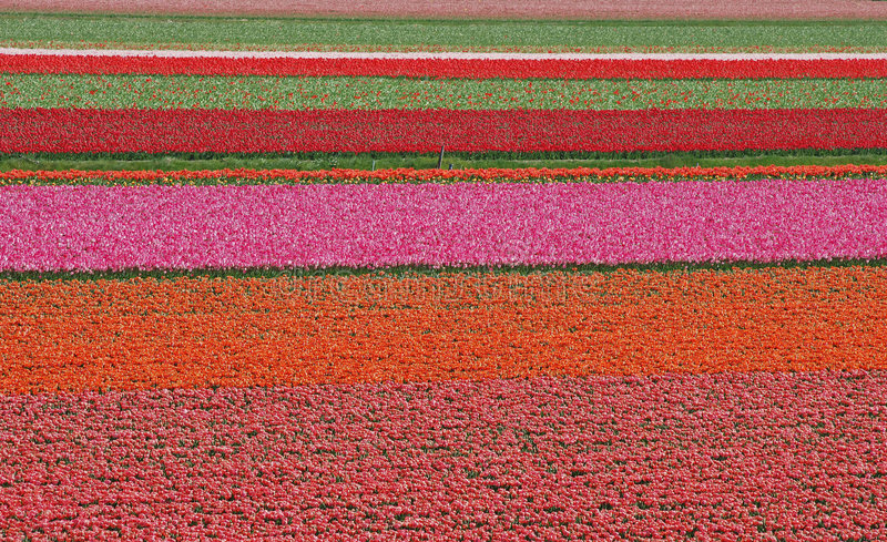 Tulip field in The Netherlands stock photography