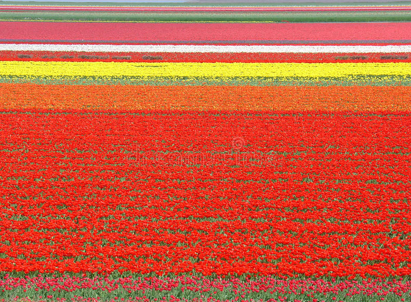 Tulip field in the Netherlands. During the spring royalty free stock photos