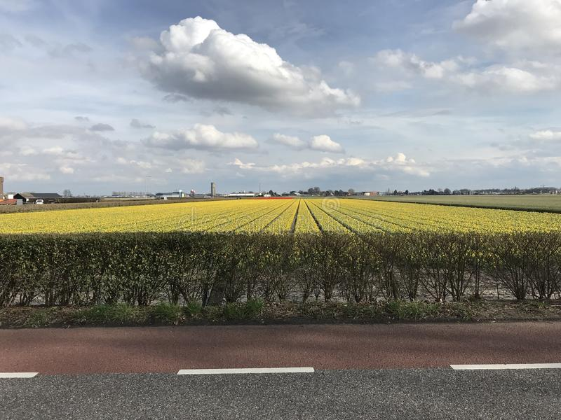 Tulip Field in the Netherlands. A yellow field of tulip in Holland during spring time. Taken near Keukenhof which is in Lisse, Netherlands royalty free stock photo