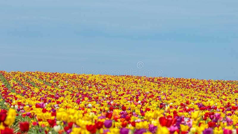 Tulip field in Oregon. Red, yellow and purple tulips on a field. Blossoming red, yellow and purple tulips on a tulip farm at a spring time. Blue sky above royalty free stock photo