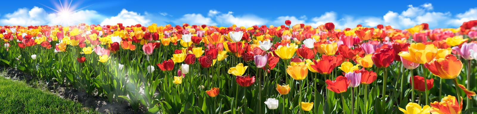 Tulip field Panorama with beautiful colours. Tulip flowerbed with blue sky and sunrays. Beautiful nature panoramic view stock photography