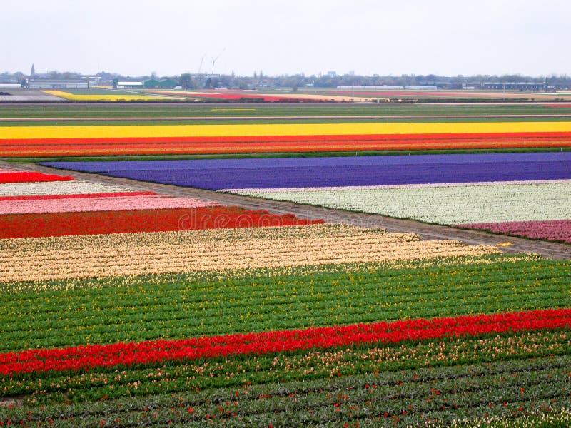 Tulip field pattern stock photo