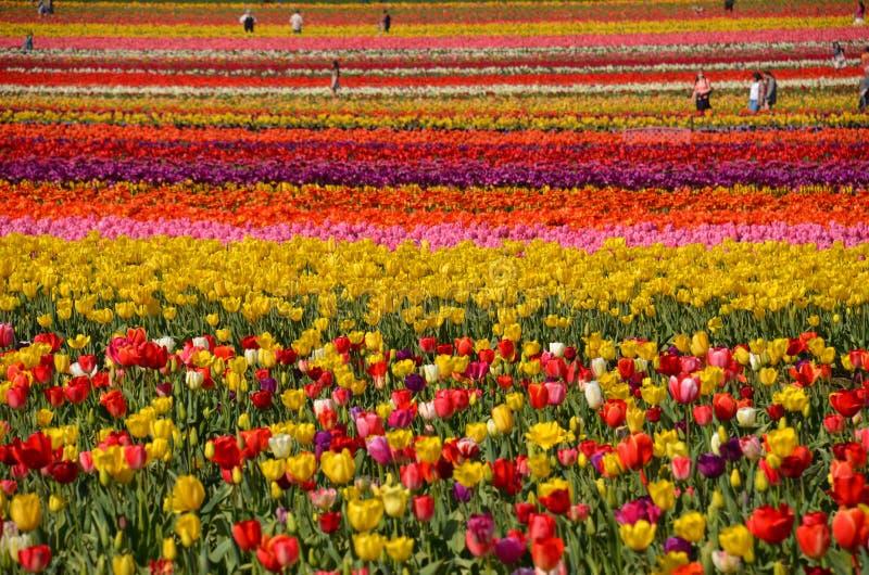 Tulip Field près de Woodburn, Orégon image libre de droits