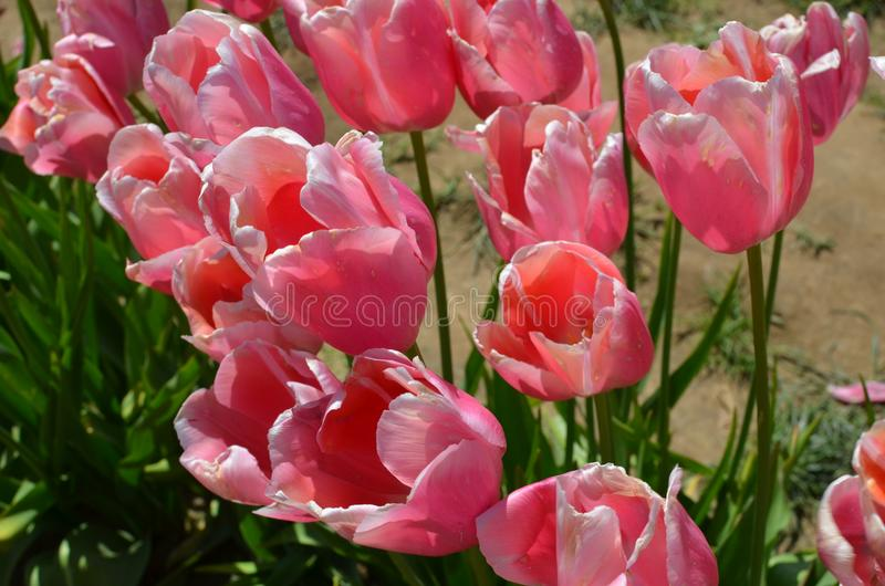 Tulip Field près de Woodburn, Orégon images stock