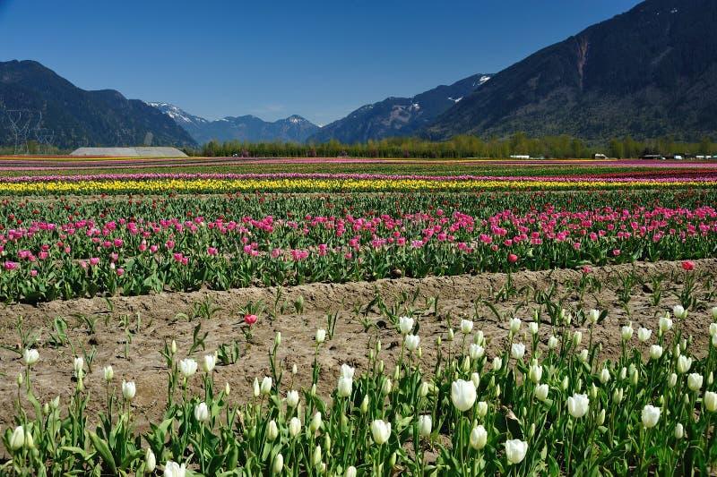 Tulip field in sea bird island stock photos