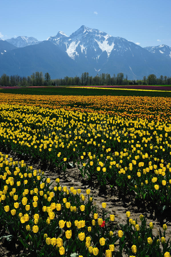 Tulip field in spring royalty free stock images