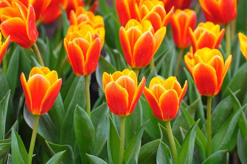 Tulip field in spring stock photos