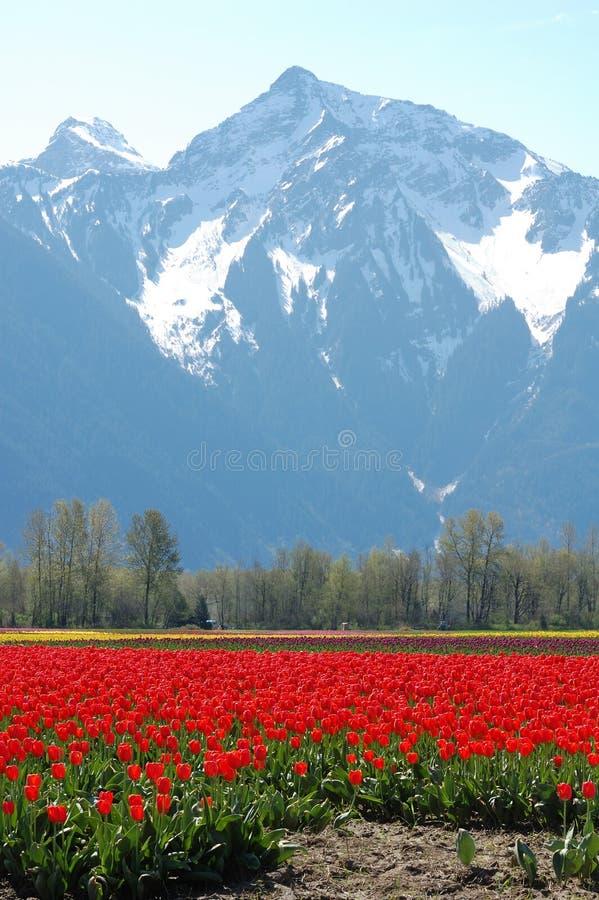 Tulip field in spring stock image