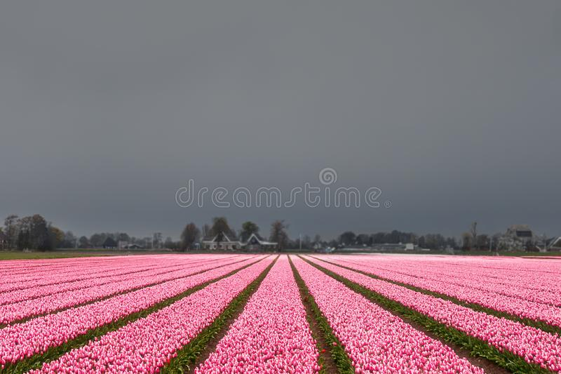 Tulip field before the storm stock images