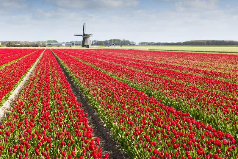 Tulip field with windmill stock photo