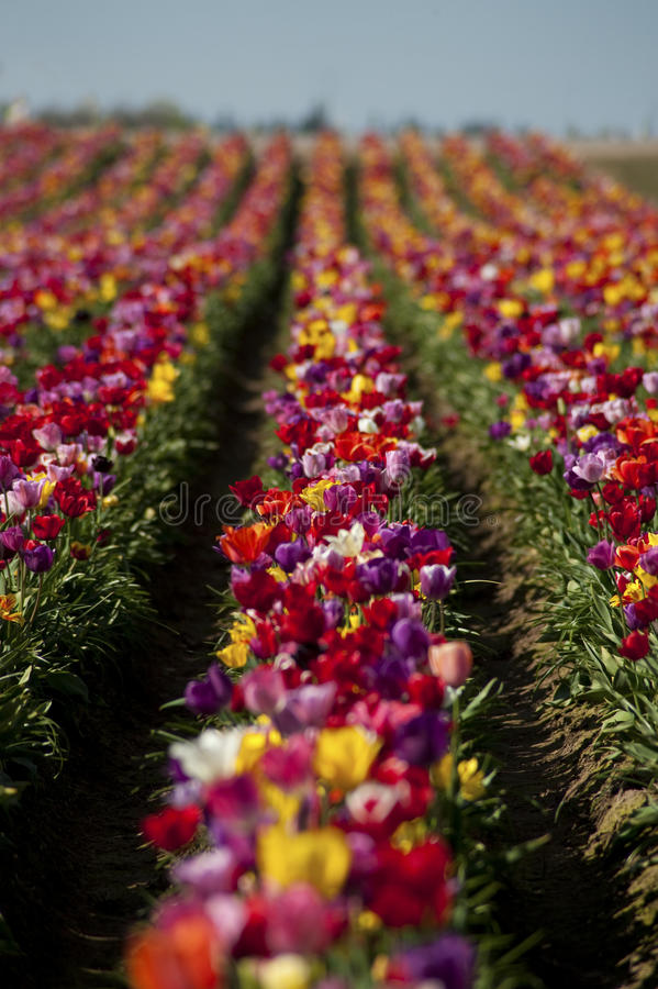Download Tulip Fields Royalty Free Stock Photo - Image: 13031675